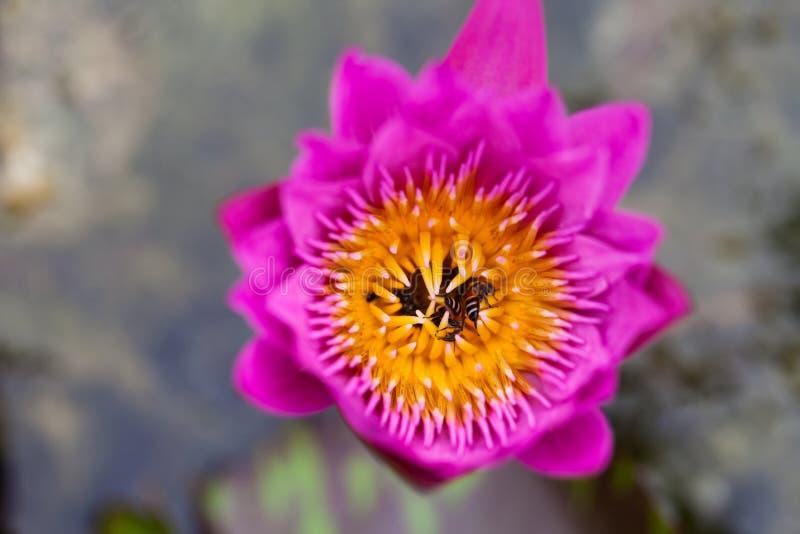 De bloem en de bij van Lotus stock afbeeldingen