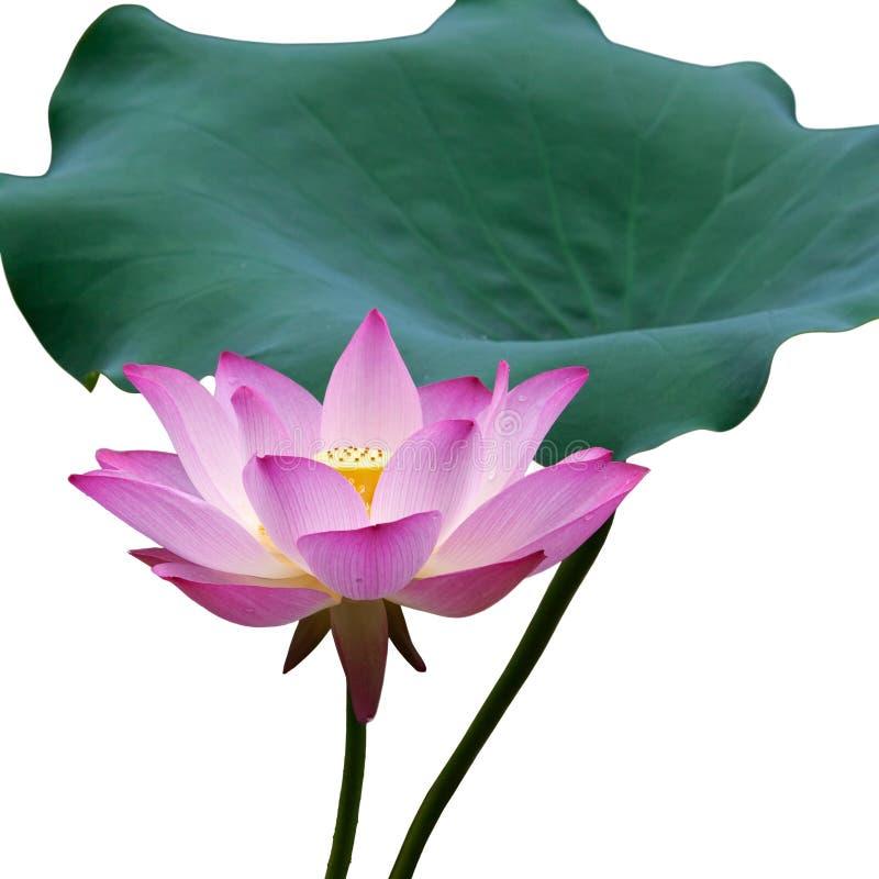 De bloem en het blad van Lotus stock afbeelding