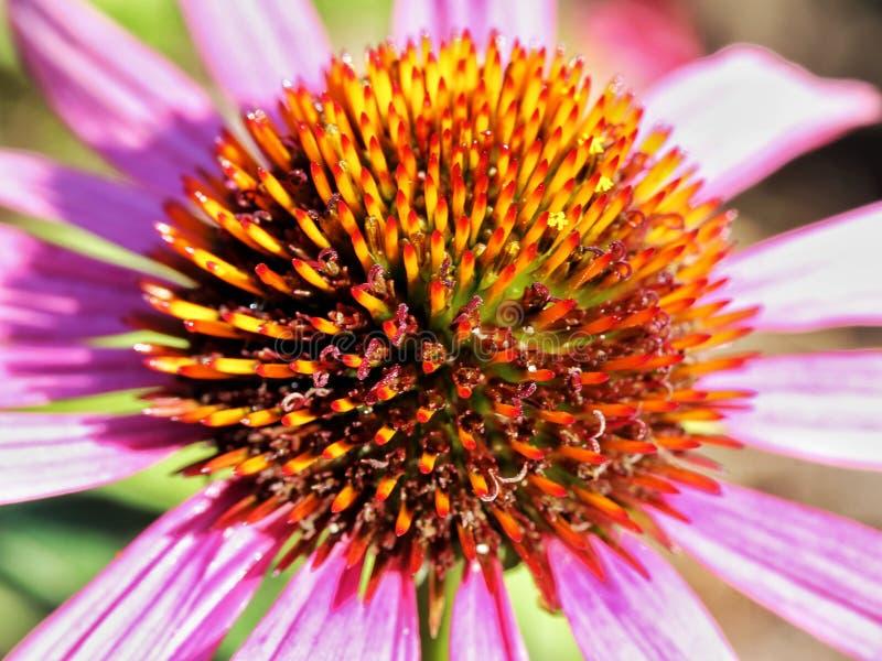 De bloem, Flora, Coneflower, sluit omhoog stock afbeeldingen