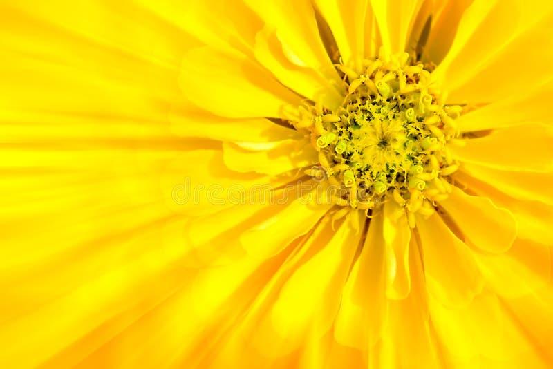 De bloem is gele Zinnia stock foto