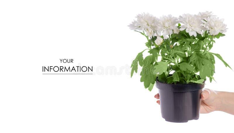 De bloem in hand patroon van de chrysanteninstallatie stock foto's