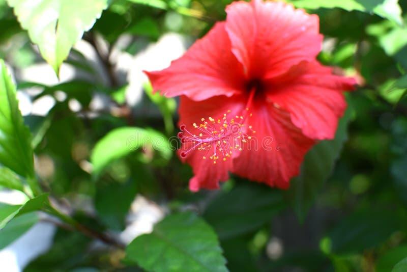 De bloem macroschot van de stuifmeel rood hibiscus royalty-vrije stock foto's