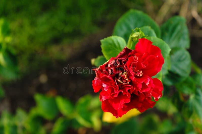 De bloem is mooie rode kleur bij op openluchtpark stock afbeelding