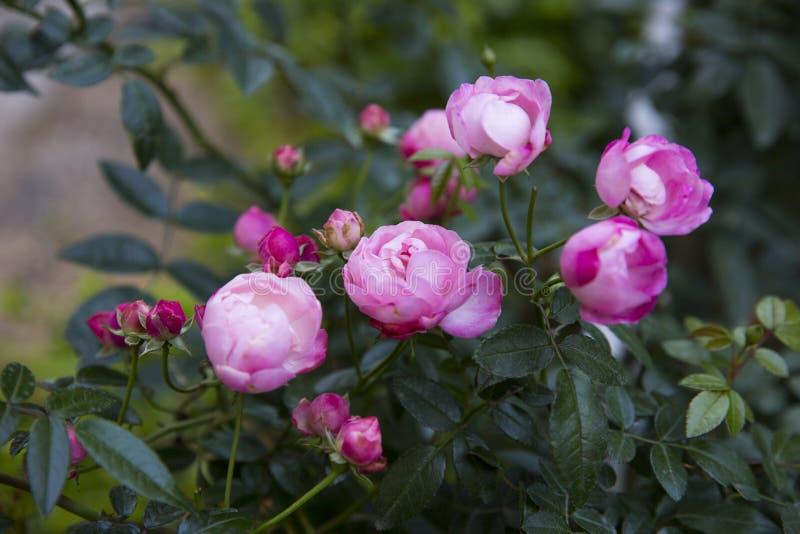 De bloem nam in tuin toe royalty-vrije stock afbeeldingen