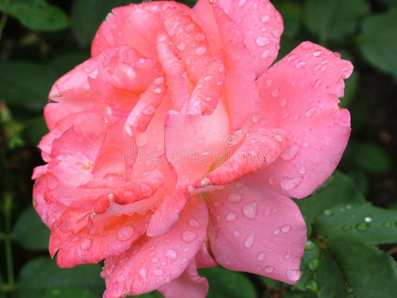 De bloem, Rose Family, nam, Floribunda toe stock fotografie