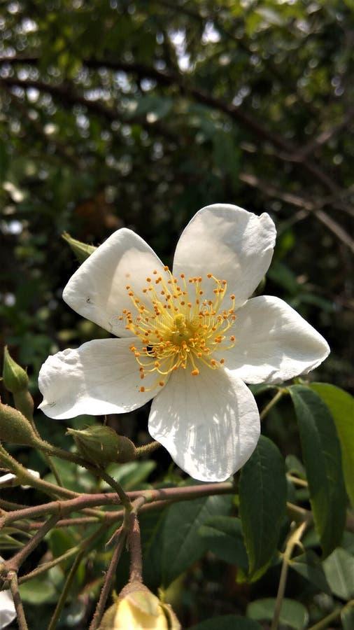 De bloem van de aardbloesem royalty-vrije stock fotografie