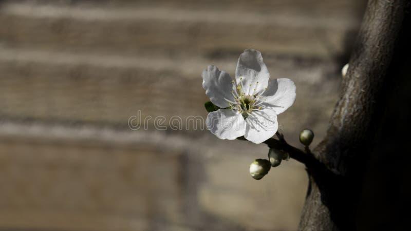 De bloem van de abrikozenboom met knoppen die bij de lente bloeien royalty-vrije stock afbeeldingen