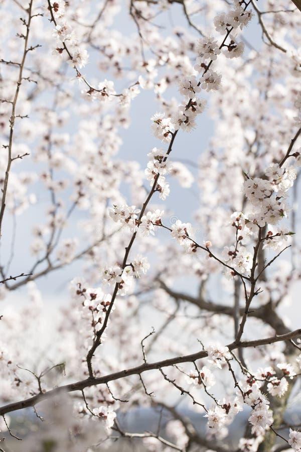 De bloem van de abrikozenboom, seizoengebonden bloemenaardachtergrond Boom van de de lente de bloeiende abrikoos stock afbeeldingen