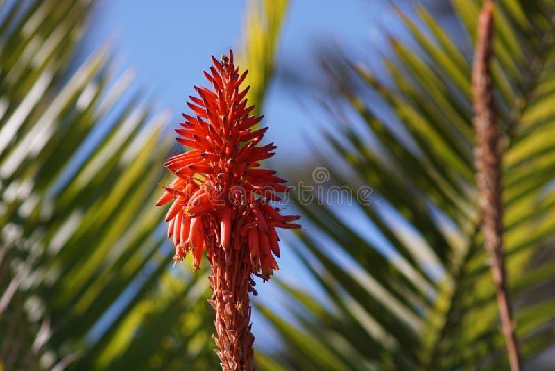 De bloem van aloëvera, palmbladenachtergrond stock foto