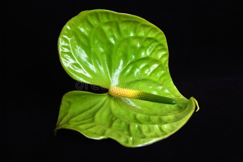 De bloem van Anthurie op zwarte royalty-vrije stock foto's