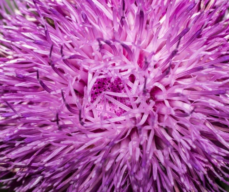 De bloem van Arctiumlappa royalty-vrije stock foto's