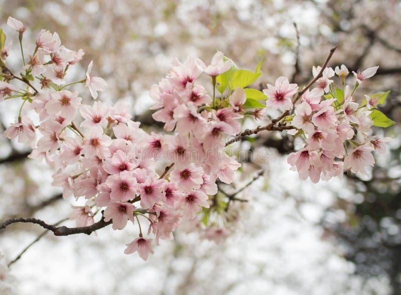 De bloem van bloesemsakura in de lente royalty-vrije stock afbeelding