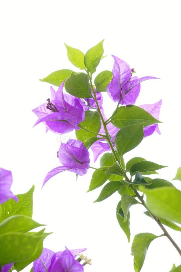 De bloem van bougainvillea stock foto's