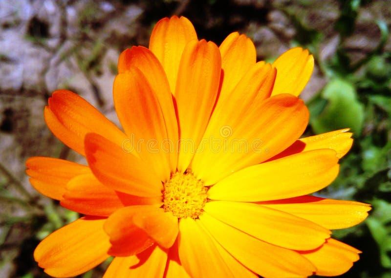 De Bloem van Calendulaofficinalis stock fotografie