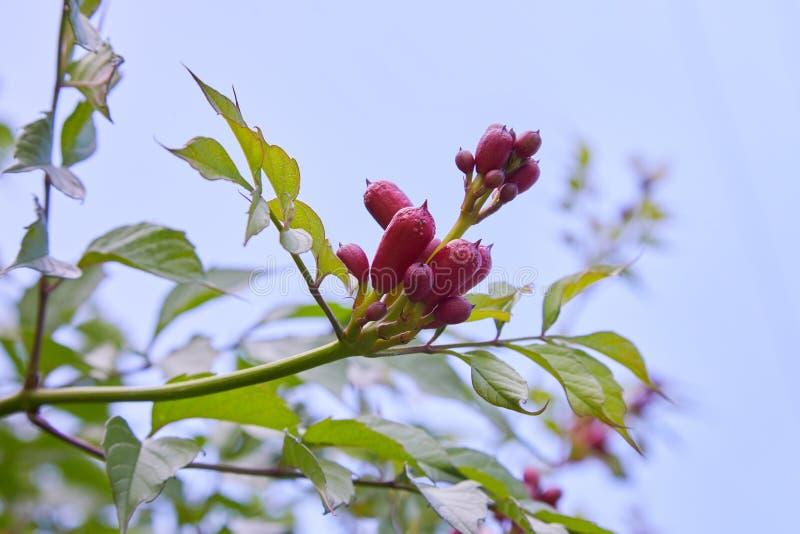 De bloem van campsisclose-up stock afbeelding