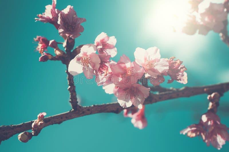 De bloem van Cherry Blossom of Sakura-op aardachtergrond royalty-vrije stock foto's