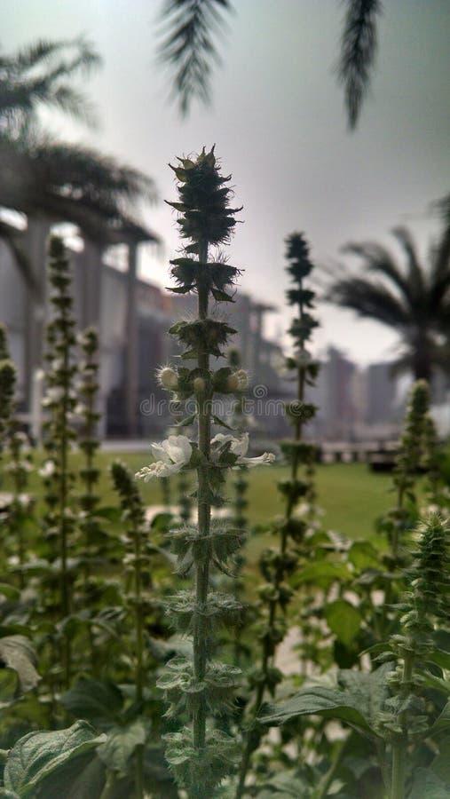 De bloem van Chia stock foto