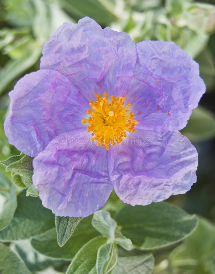 De bloem van Cistus stock fotografie