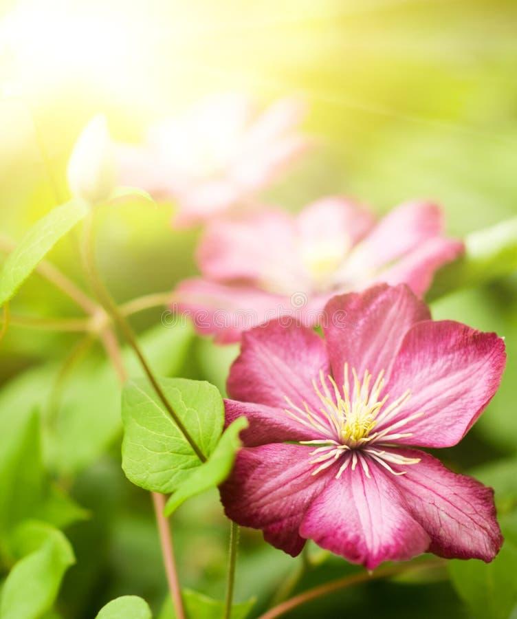 De bloem van clematissen royalty-vrije stock foto's