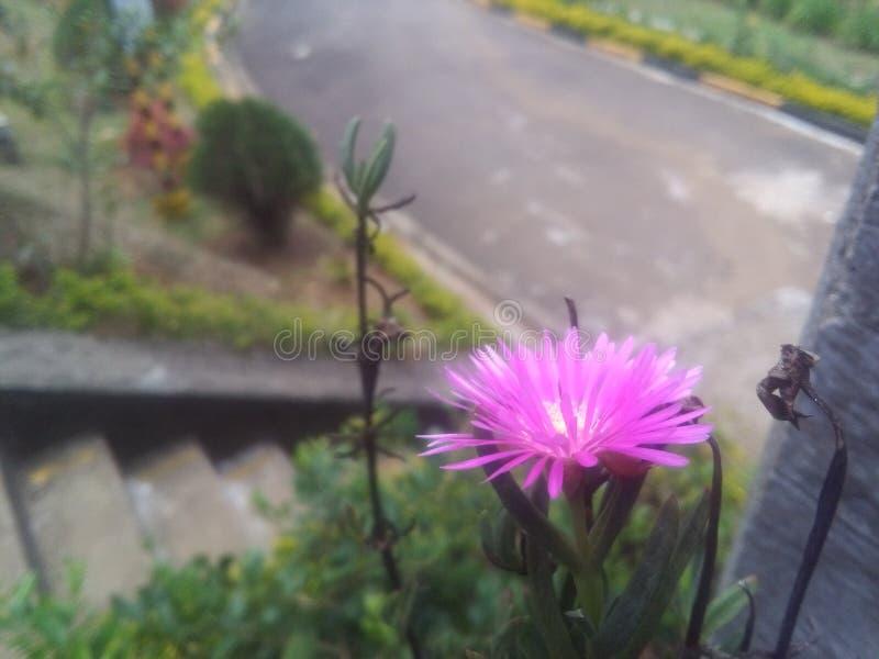 De bloem van de dagkoningin stock fotografie
