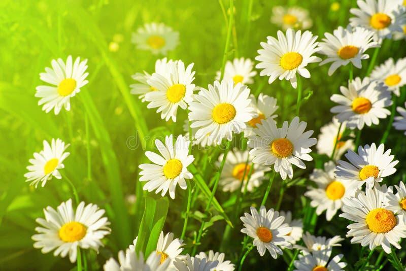 De bloem van Daisy op weide stock foto