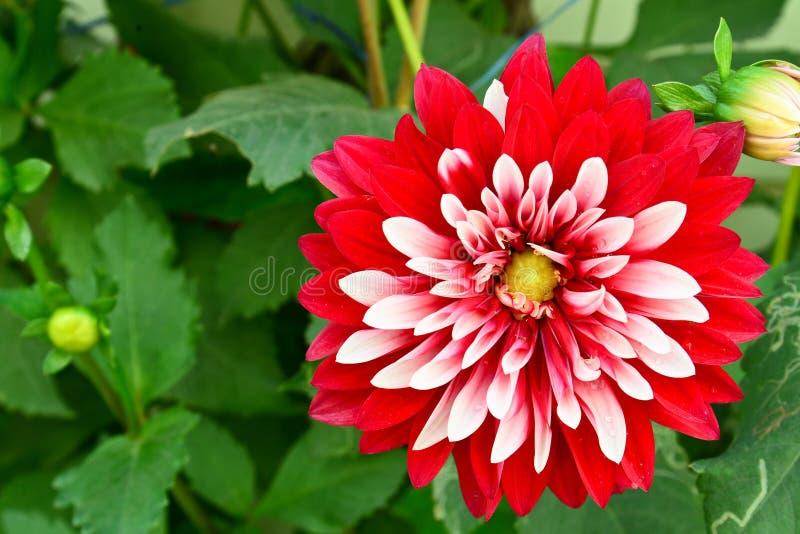 De bloem van Dalia royalty-vrije stock afbeeldingen