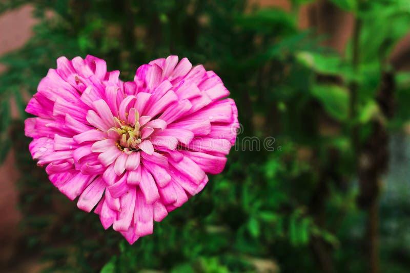 De bloem van Dalia van de hartvorm royalty-vrije stock afbeeldingen