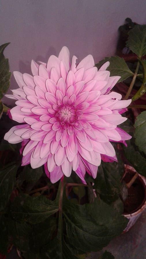 De bloem van Dalia stock foto's