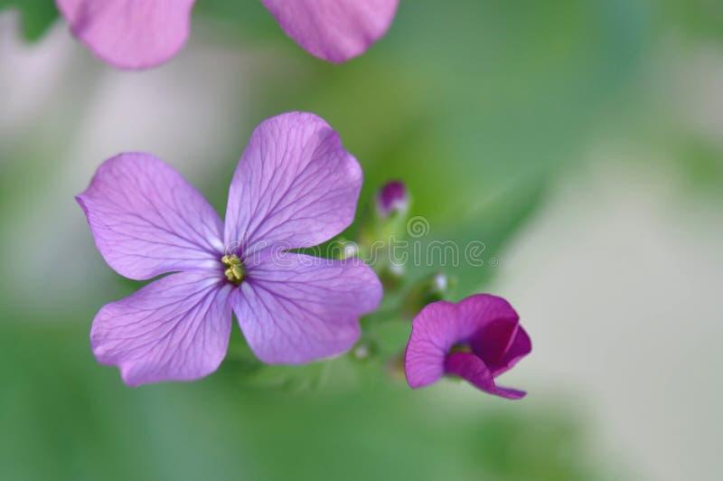De bloem van de dame` s Raket stock afbeeldingen