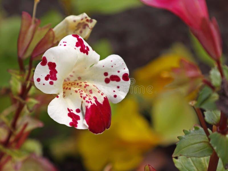 De bloem van de aapmuskus royalty-vrije stock foto's