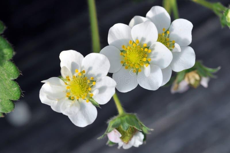 De bloem van de aardbei royalty-vrije stock fotografie