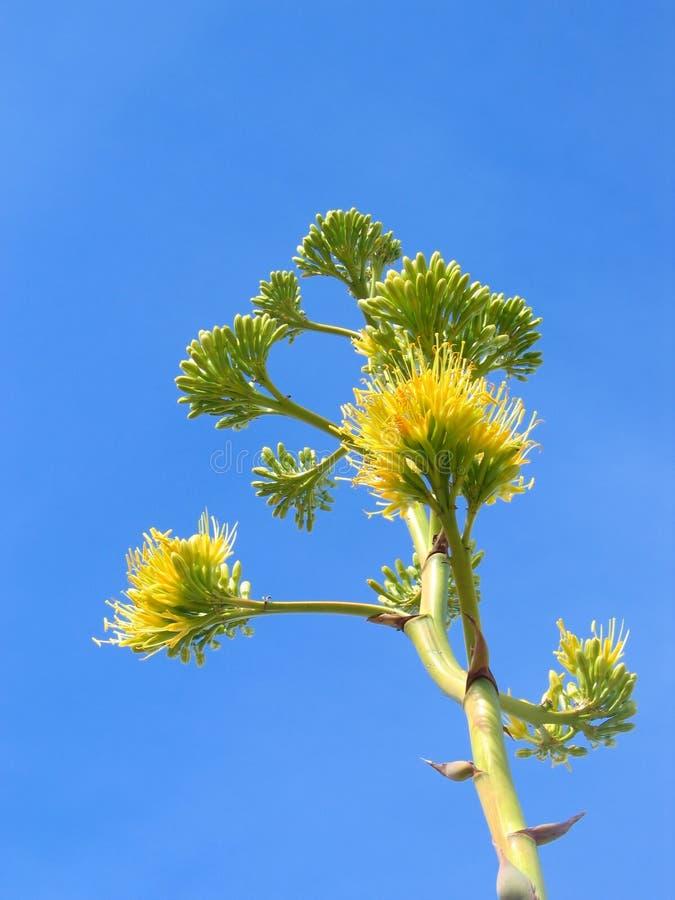 De bloem van de agave stock foto's