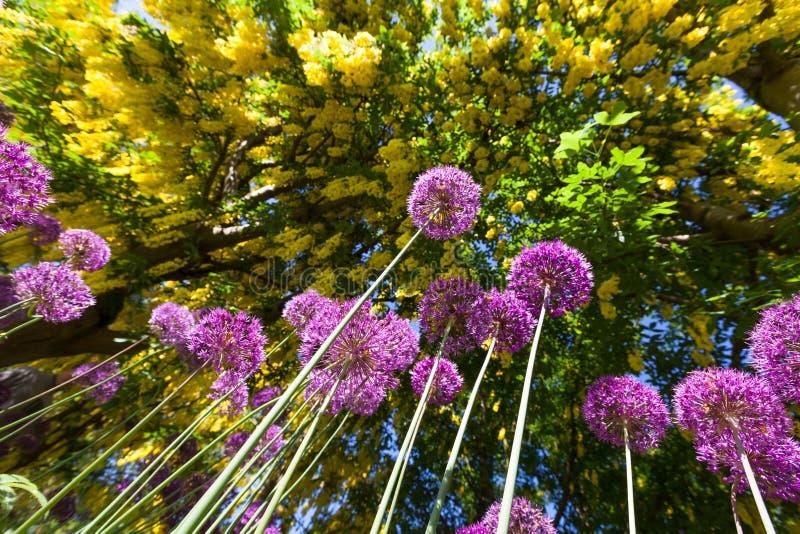 De bloem van de Aliumui royalty-vrije stock afbeelding