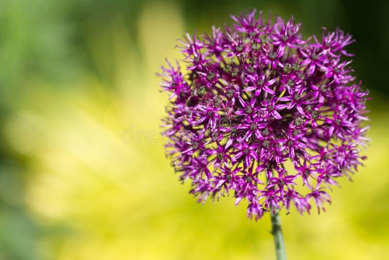 De bloem van de Aliumui royalty-vrije stock foto