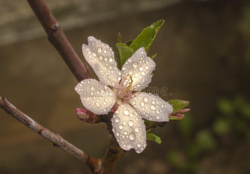 De bloem van de amandelboom stock afbeeldingen