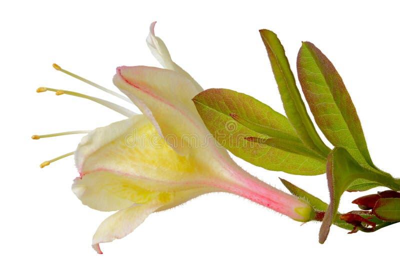 De bloem van de azalea stock fotografie