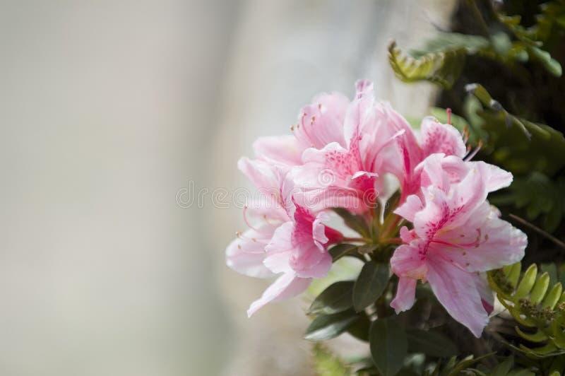 De bloem van de azalea stock foto's