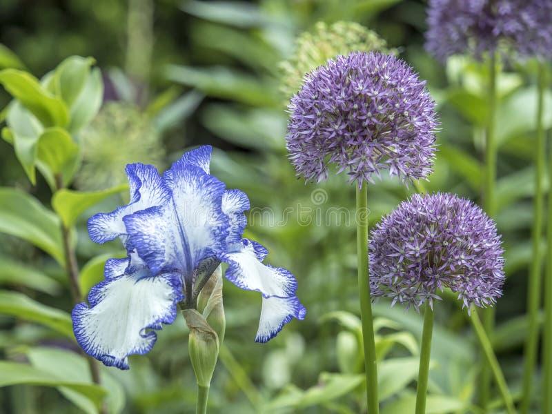 De bloem van de Bloeiris stock afbeeldingen