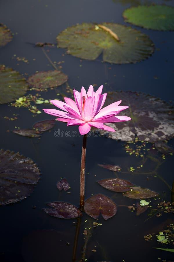 De bloem van de bloesemlotusbloem royalty-vrije stock afbeeldingen