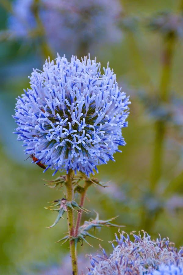 De bloem van de boldistel stock afbeeldingen