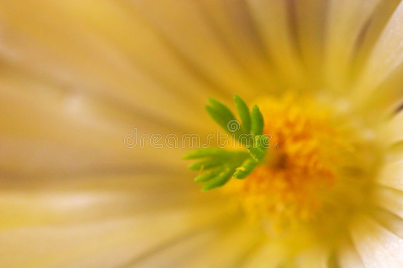 De bloem van de cactus royalty-vrije stock foto's