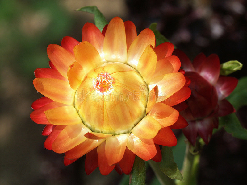 De bloem van de close-up royalty-vrije stock foto