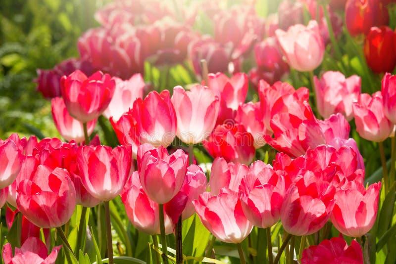 De bloem van de Colofultulp in de tuin stock foto