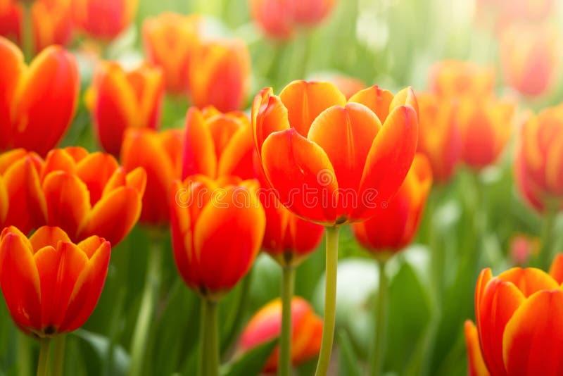 De bloem van de Colofultulp in de tuin stock afbeelding