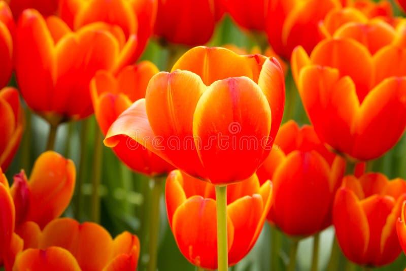 De bloem van de Colofultulp in de tuin royalty-vrije stock foto's