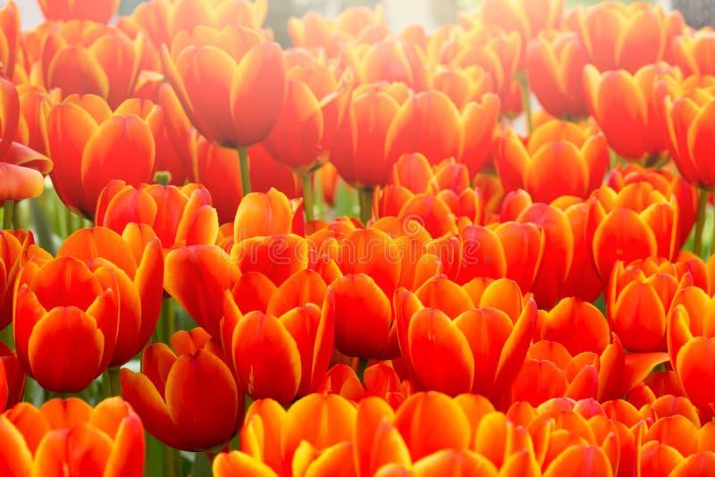De bloem van de Colofultulp in de tuin stock fotografie
