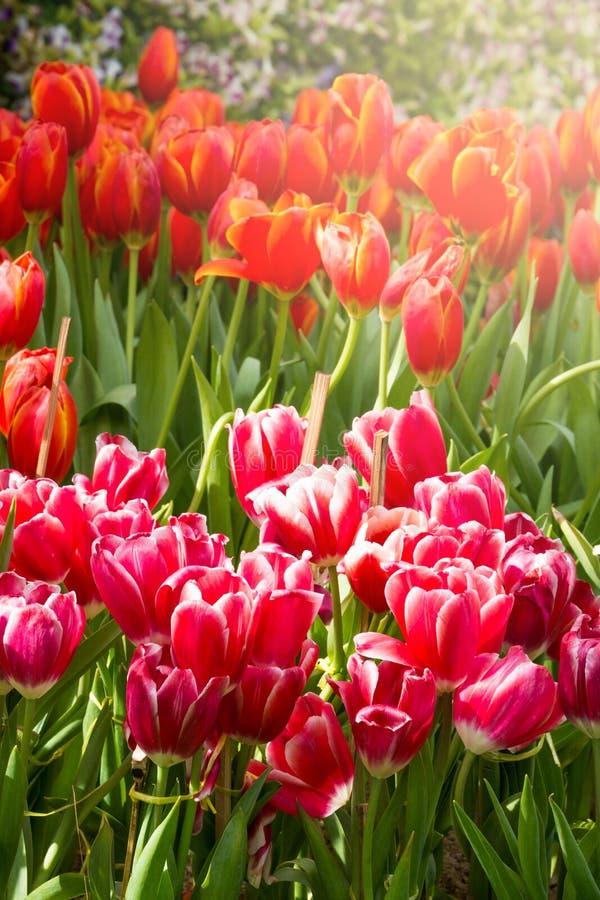 De bloem van de Colofultulp in de tuin royalty-vrije stock fotografie