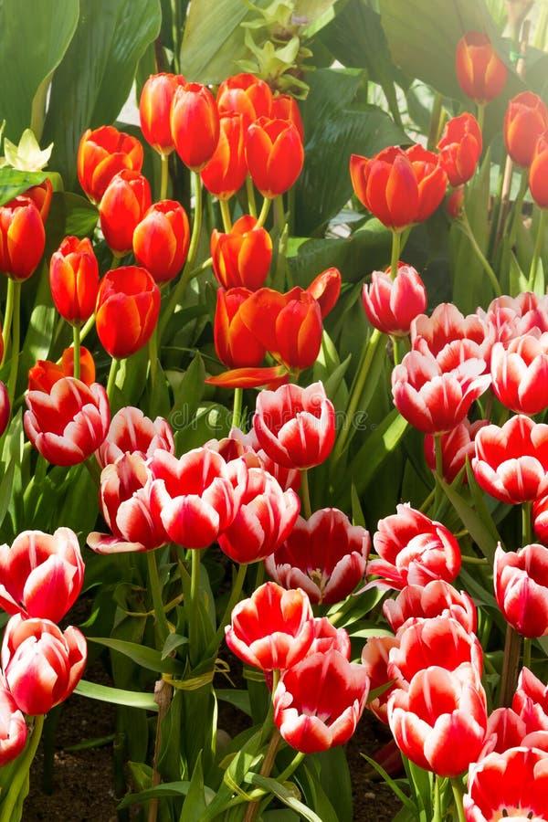 De bloem van de Colofultulp in de tuin royalty-vrije stock afbeelding