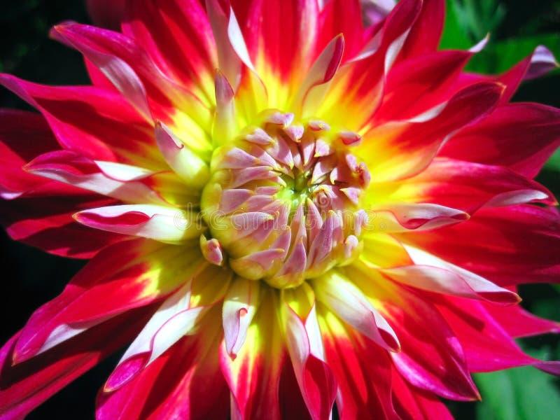 De bloem van de dahlia royalty-vrije stock foto