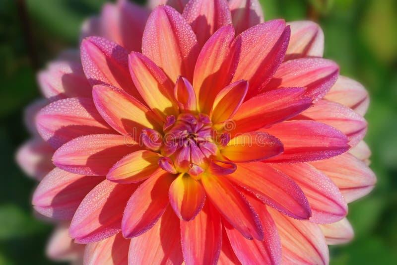 De bloem van de dahlia royalty-vrije stock fotografie
